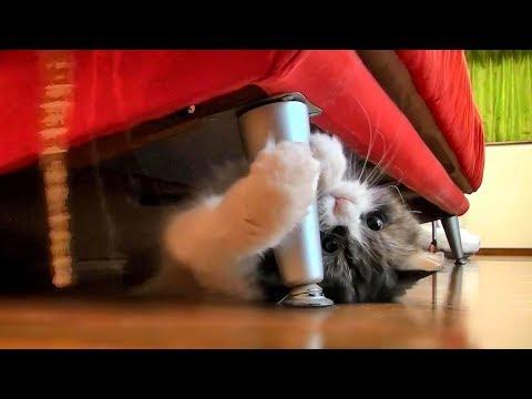 ソファの下から遊ぶねこ Ragamuffin cat KOBAN plays under the sofa.