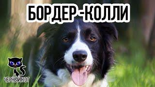 Бордер-колли / Интересные факты о собаках