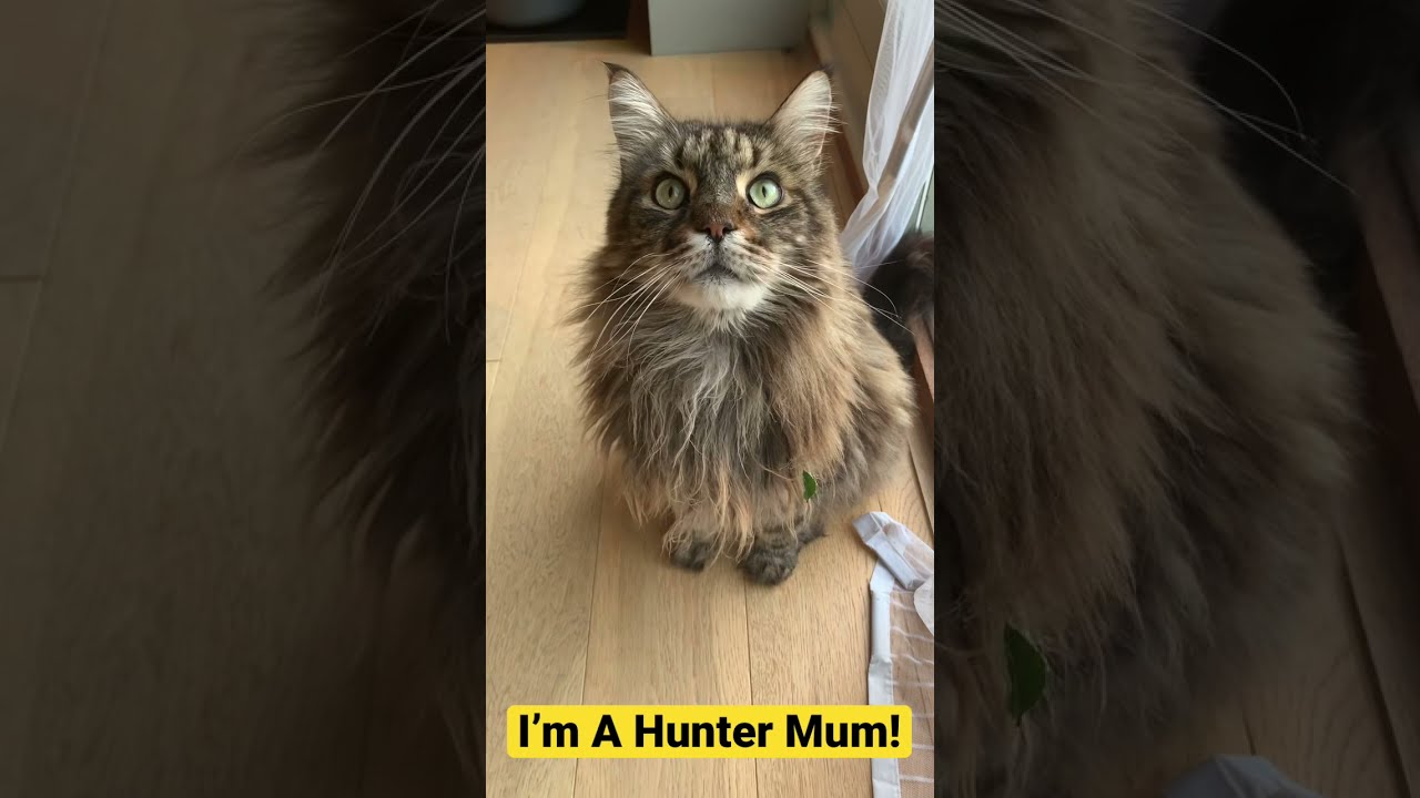 Lazy Maine Coon Cannot Be Bothered To Hunt!