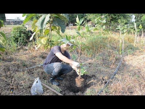 ปลูกชมพู่ | วิธีการปลูกชมพู่ลงดินแบบง่ายๆ | How to grow apple rose easily