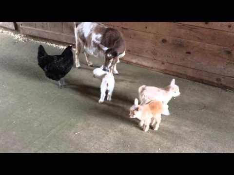 Quadruplet Goat Kids Have Chicken Babysitter