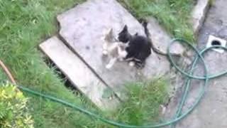 albanian cats having sex
