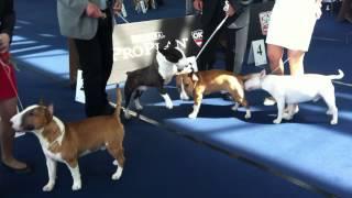 Youth World Winner 2012 Salzburg Miniature Bull Terrier