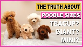 POODLE SIZES THE TRUTH ABOUT TEACUP & GIANT POODLES| The Poodle Mom