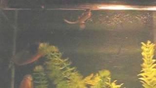 Piranhas Eat Live Mouse 2