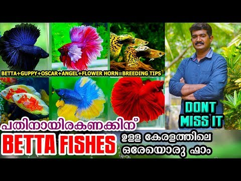 ഉറപ്പിച്ചോളൂ ..കേരളത്തിൽ വേറെ ഉണ്ടാവില്ല ഇതുപോലൊരു  Betta Fish ഫാം|Betta Fish Malayalam