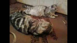 питомник шотландских  вислоухих котят стерлитамак