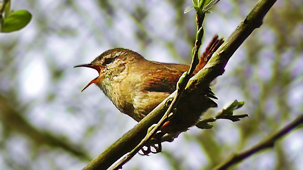 Wren Singing - Tiny Bird with a Giant Voice - YouTube 11baed9d399a7