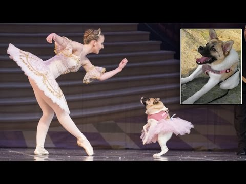 Thumbnail: Dog Named Pig Upstages Sugar Plum Fairy In 'Mutt-cracker' Performance