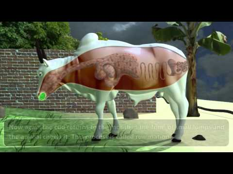 NUTRITION IN ANIMALS 07.02_10_ DIGESTION IN GRASS-EATING ANIMALS.mp4