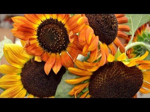 why-grow-sunflowers?