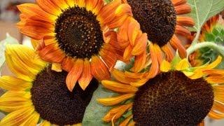 Why Grow Sunflowers?