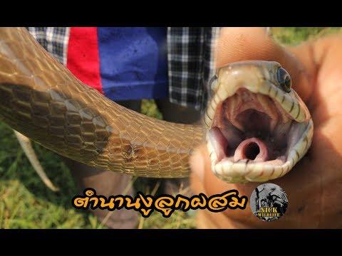 Nick's Wildlife Experiences ตอน ตำนานงูลูกผสม (นิค แดนอสรพิษ)