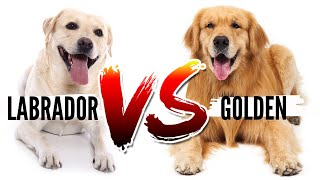 Golden Retriever VS Labrador Retriever Which Breed is Best For You