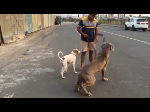 Max ( Neapolitan Mastiff) & Rudy ( Indian Dog Breed) love to go for walk together !!