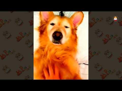 Funny Golden Retriever Videos 2017 # 41