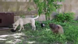 Ворона дергает собаку за хвост и отгоняет от еды