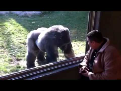 Man gets kicked in face by gorilla