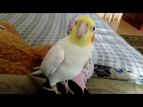 Талантливые попугаи. Попугай Геша говорит и поёт