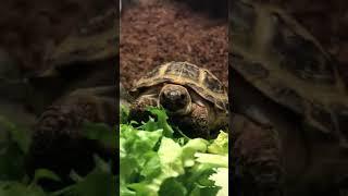 Horsfield's Tortoise feeding /…