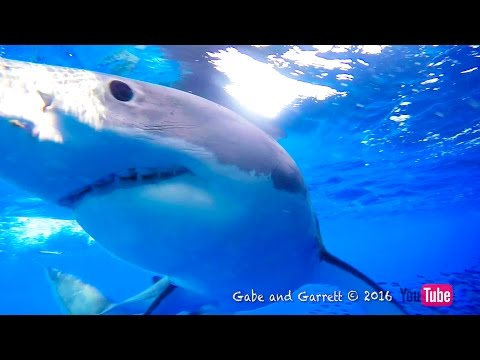 Great White Shark Cage Breach Accident - The Full Story