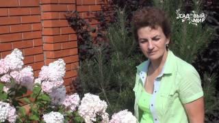 видео Гортензия: посадка и уход в открытом грунте, фото, сорта, размножение, выращивание и сочетание в ландшафтном дизайне