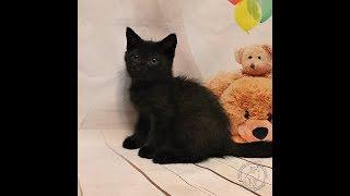 Британская чёрная кошка. Чёрный котёнок. Чёрный британец