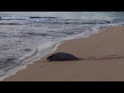 Seal on beach - Hawaii