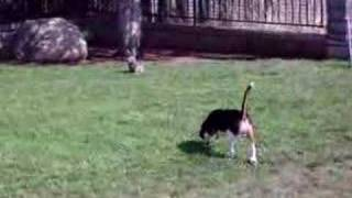 Gambar cover Funny Beagle Pup Scared of Stuffed Rabbit   Funny Video