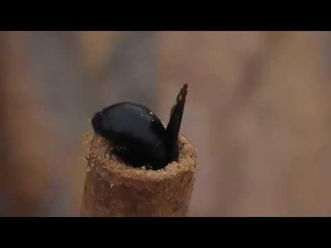 Carpenter bee building nest & cuckoo wasp sabotaging it!