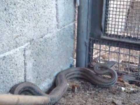 Il serpente youtube for Serpente cervone