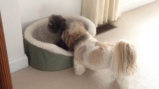 Blue Persian Cat Lexi Has Taken Over Shih Tzu Dog Lacey's Bed