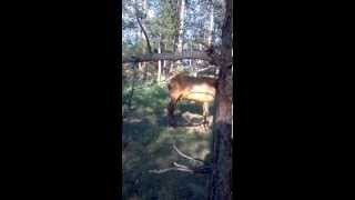 Elk Encounter | Evergreen Colorado | Colorado Wildlife | Wapiti Calf