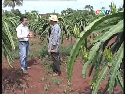 Kỹ thuật trồng thanh long ruột đỏ H14.flv