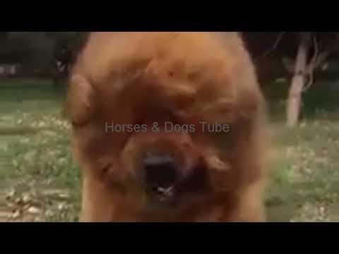 World Most Dangerous Dog Breed Tibetan Mastiff
