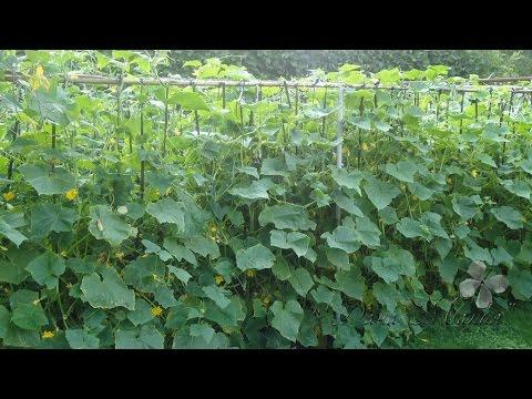 Огурцы в теплице Как выращивать огурцы в теплице