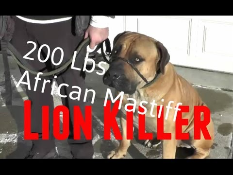 200 Lbs African Boerboel Mastiff  Lion Killer - Amazing SafeCalm Dog Training Collar