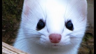 Weasel attacks! Ermine winter color phase