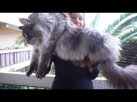 Beautiful BIG MAINE COON CAT Hélios......I present my giant cat !!