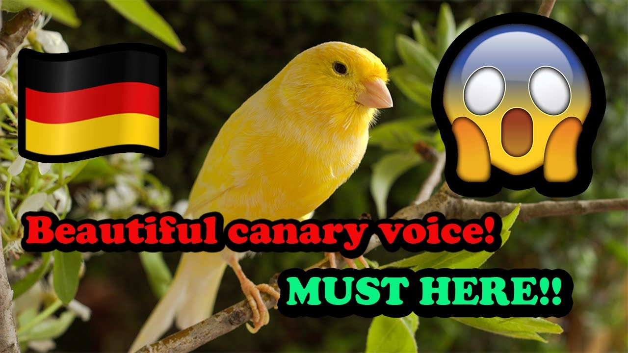 كناري ألماني فحل Beautiful Voice Canary Bird Youtube