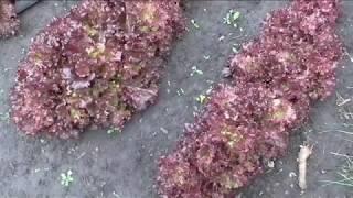 Описание и опыт выращивания салата БАРБАДОС