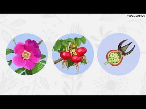 Вопрос: Почему именно покрытосеменные растения человек использовал (см.)?