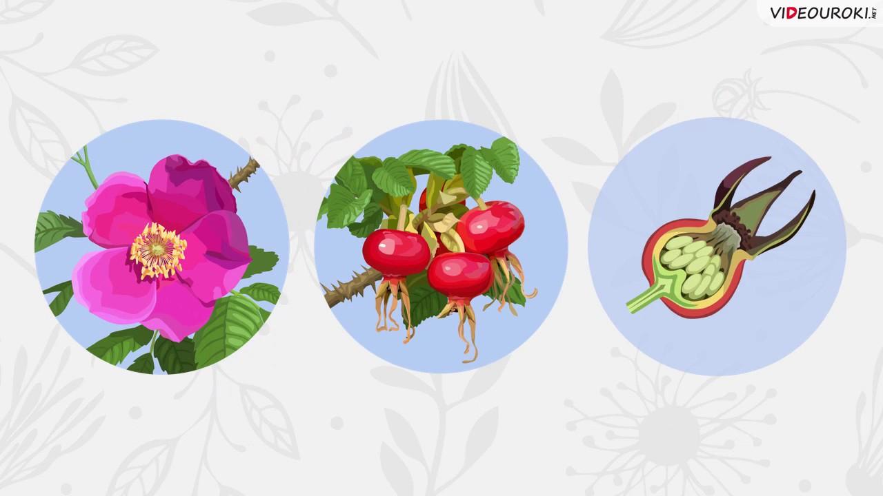 Строение и многообразие покрытосеменных растений