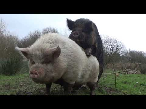 Unsere Schweine bekommen Besuch der besonderen Sorte - Eber Ernie!