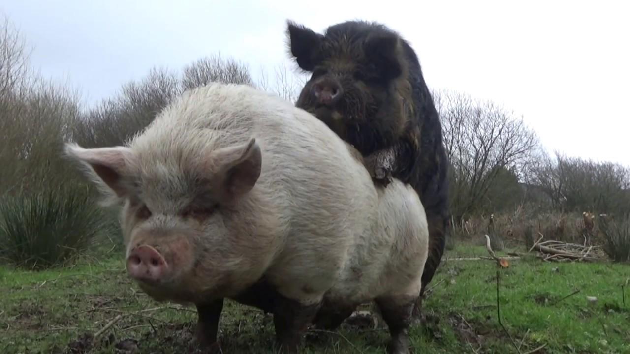 Unsere Schweine bekommen Besuch der besonderen Sorte