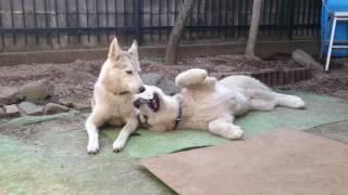 左 : ジェリー (アラスカンハスキー 2歳) 右 : ハルク (アラスカン...