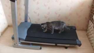 Кошка на беговой дорожке. Cat sportsman.AVI