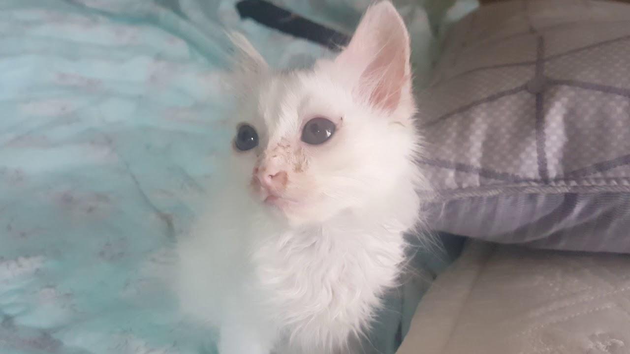 Turkish Angora Cat Kitten Short Hair D 51 4 Youtube