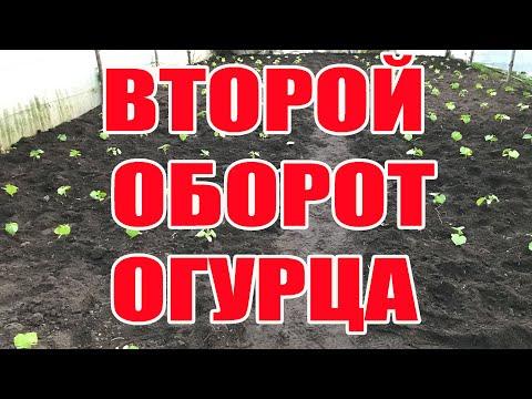 Второй оборот огурца . Выращивание огурцов в теплице