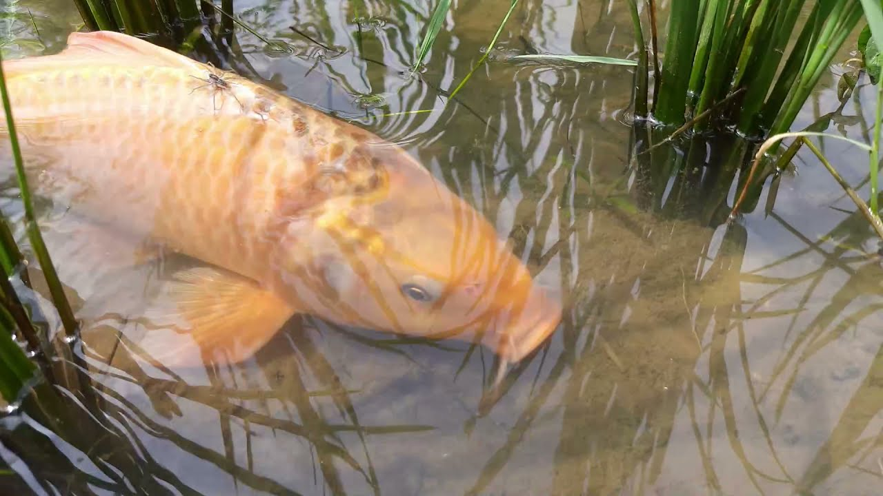 Amazing Hand Fishing Video | Traditional Boy Catching Fish By Hand in Pond Water